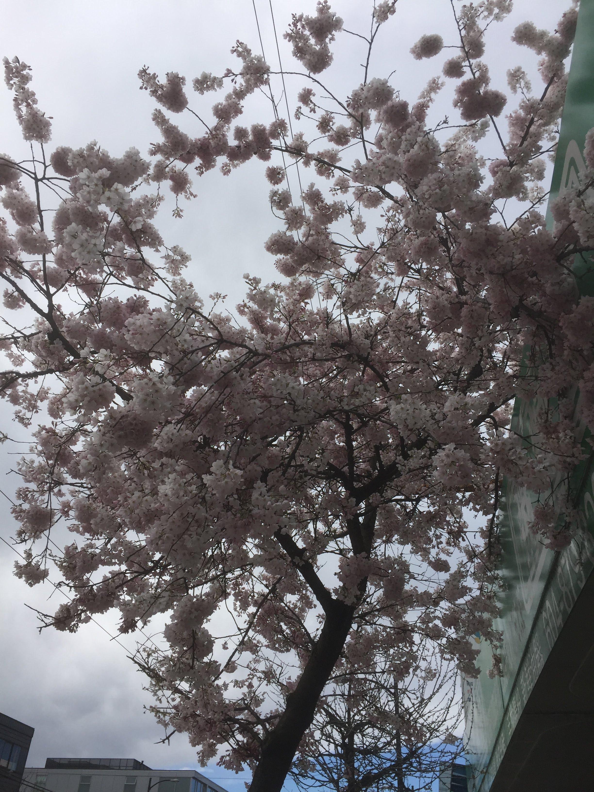 バンクーバーにも桜が咲きました。春をテーマにお花づくりアクティビティ