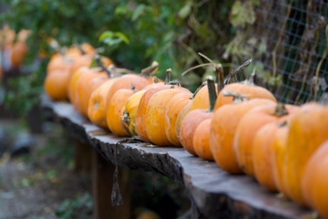 Happy Halloween!!フィールドトリップでPumpkin Patchに行ってきました。